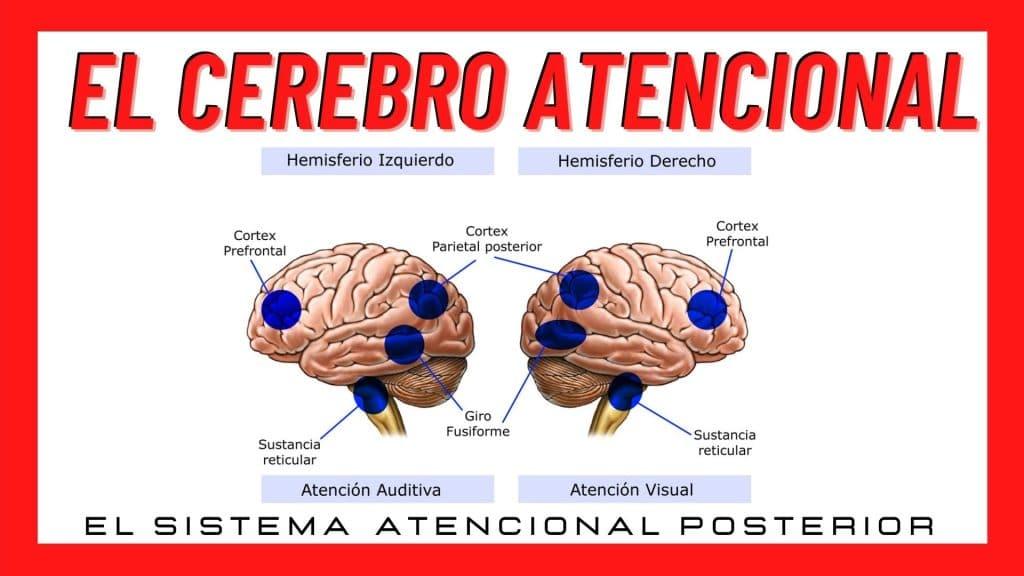 El cerebro atencional